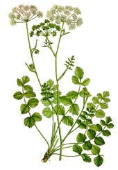 Archangelica officinalis