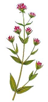 Centaurium erythraea