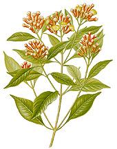 Caryophyllus aromaticus