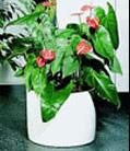 rostliny-avicenna